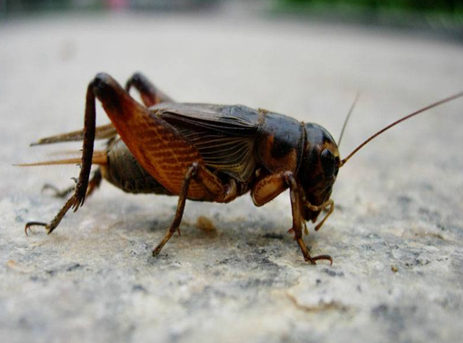 《蟋蟀的住宅》作者是著名昆虫学家、文学家法布尔,本文主要讲了蟋蟀的住宅特点和修建过程,表达了作者对蟋蟀喜爱,以及赞美蟋蟀不辞劳苦和不肯随遇而安的伟大精神。以下是小编给大家带来的人教版小学四年级语文上册第二单元第七课,蟋蟀的住宅ppt课件,有需要的朋友可立即下载这个蟋蟀的住宅ppt。