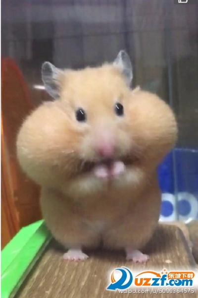 斗图表情  → 仓鼠吃太多双手托腮表情包 完整版  是藏腮帮的东西太多
