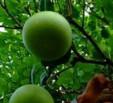 果园管理系统1.0 免费版