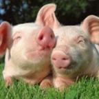 猪场管理系统高级版1.0.1 免费版