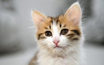 壁纸 动物 猫 猫咪 小猫 桌面 405_255