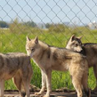 呼伦贝尔草原的狼读后感最新免费版