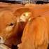 肥牛饲养技术电子书