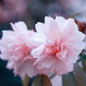 唯美海棠花桌面壁�