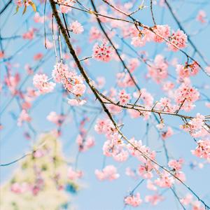 2020年1月最新樱花日历壁纸精选高清版